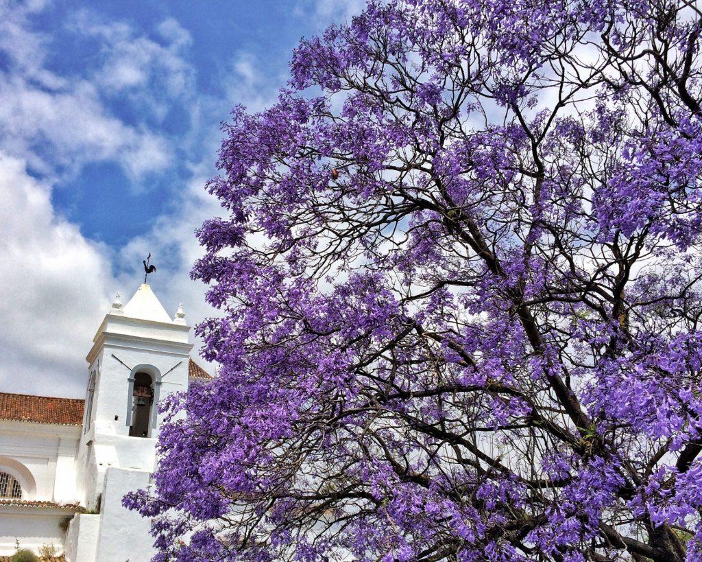Jacaranda Bäume in Tavira - Algarve Portugal