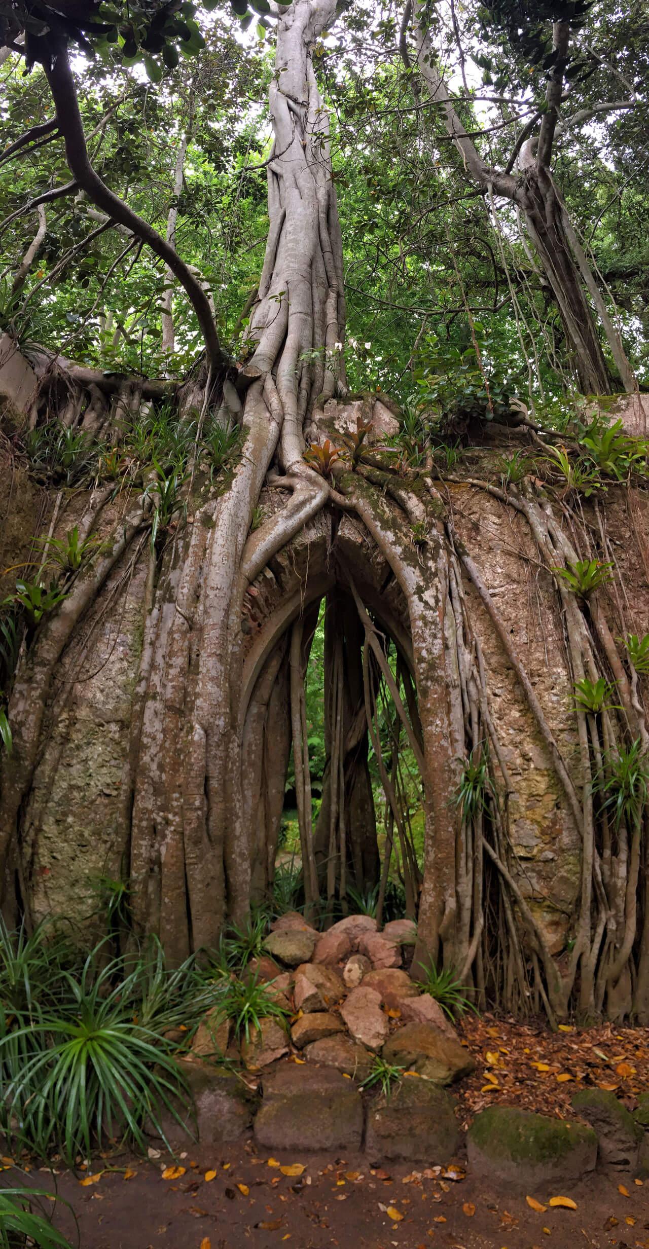 Exotischer Baum im Park MOntserrat in Sintra -Portugal
