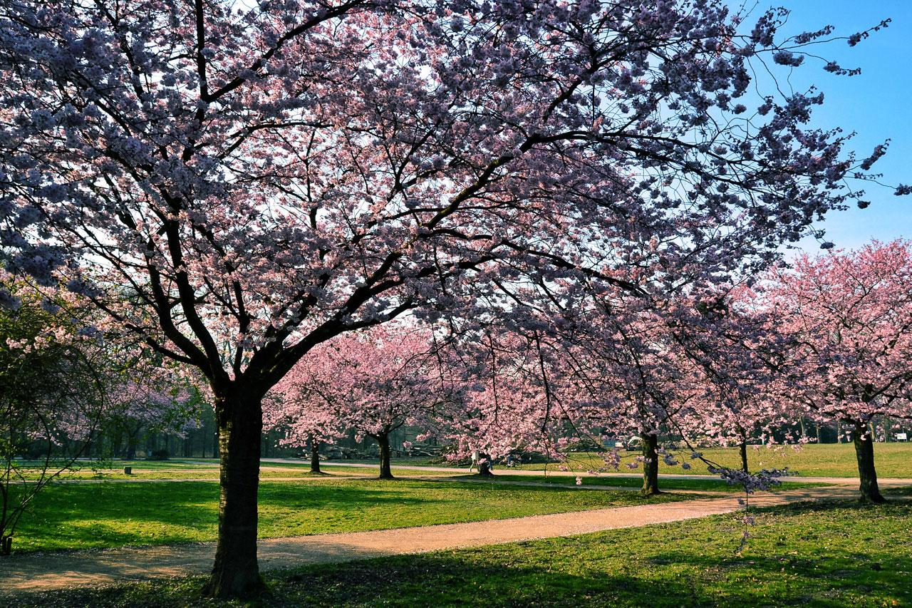 Kirschblüte im Fredenbaumpark Dortmund