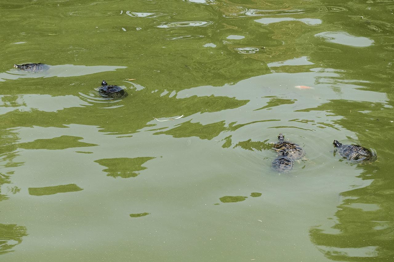 Schildkröten am Kristallpalast