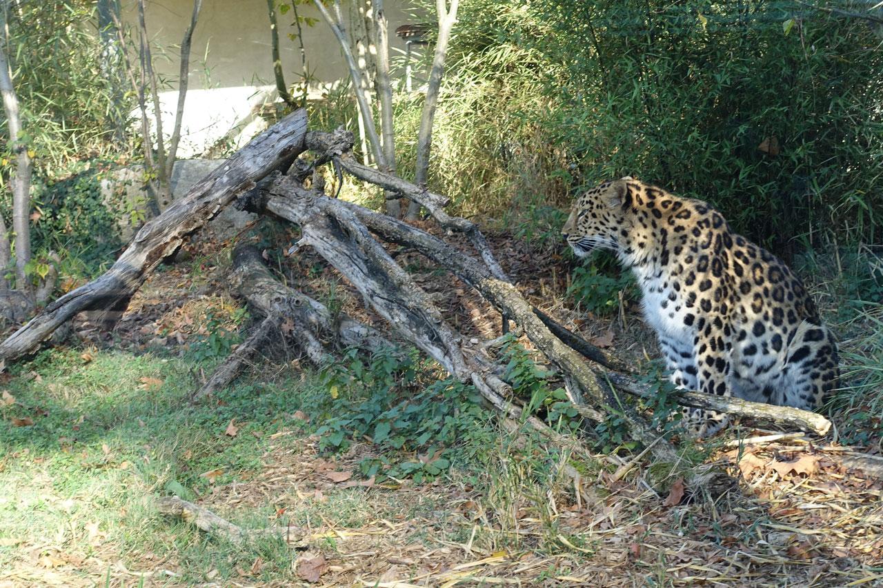 Zoo Lyon Leopard