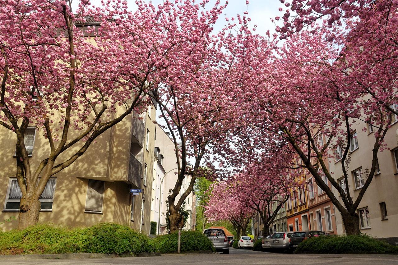 Kirschblüte in Dortmund