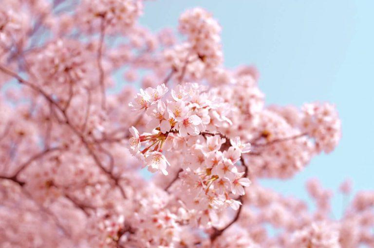 Kirschbäume in Dortmund - Der Frühling ist da!