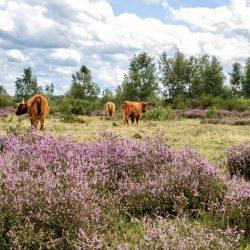 Heide, Moor und Rinder in der Eifel