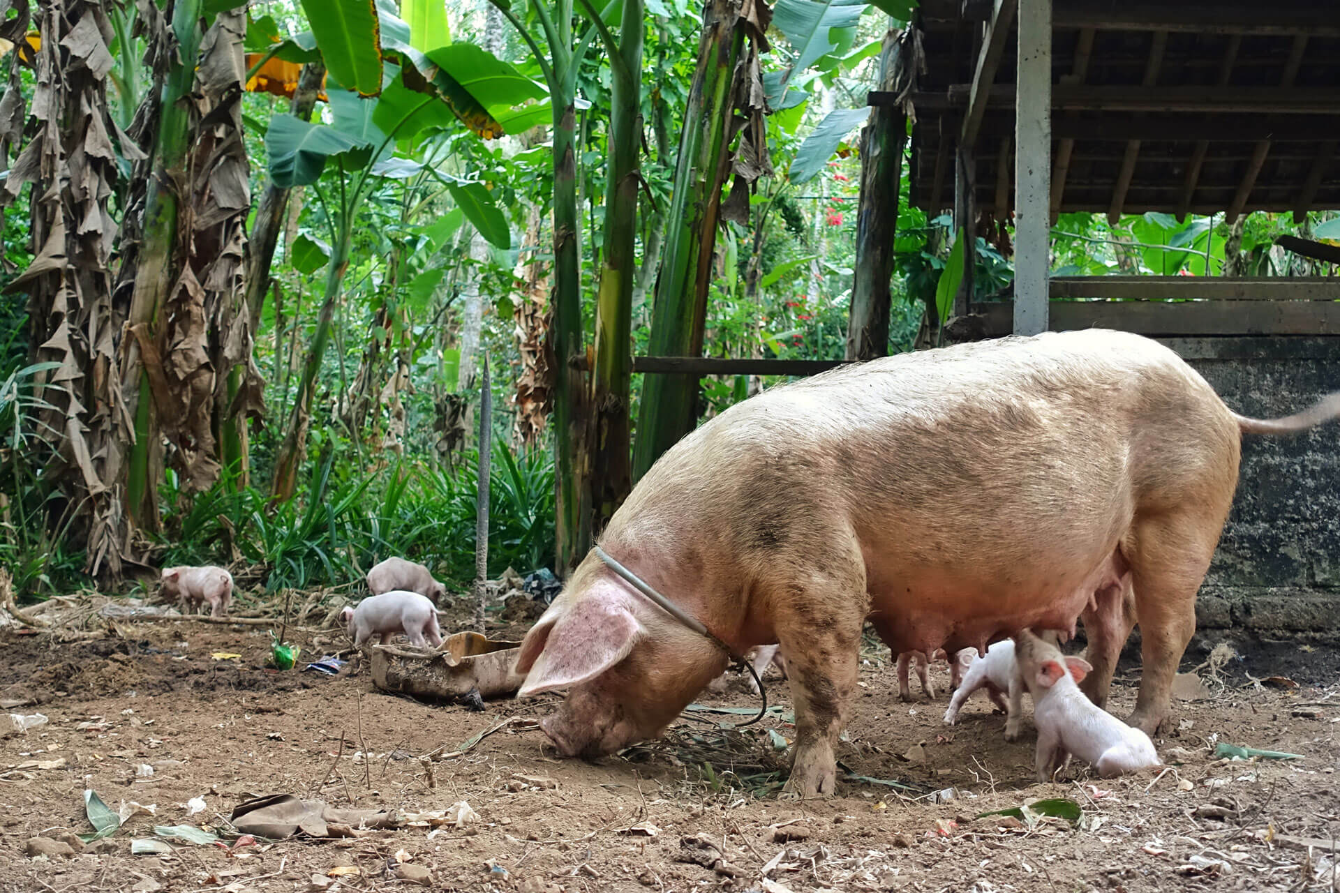 Schweine Tenganan Bali