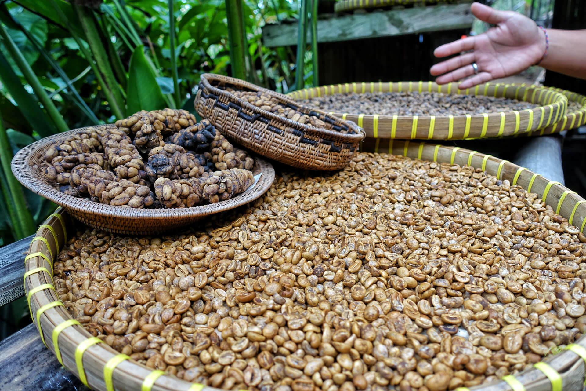 Kaffe-Bohnen in Tenganan